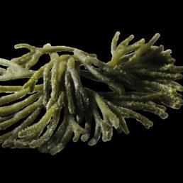 Fresh green algae bulk ( Kg ): Sea Lettuce (Ulva rigida)