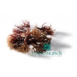Свежий водоросли: Я algatinado (Gigartina Пестик Лата) – Порт-Миллс